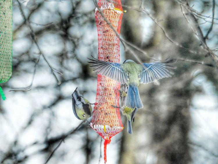 Nature_collection Nature Beauty Spread Wings Winter Nature Outside Bird Photography Bird Feeder Hanging Nature Beautiful Nature Winter Nature Bird Wings Spreading Wings Bird Flying Bird Eating Seeds