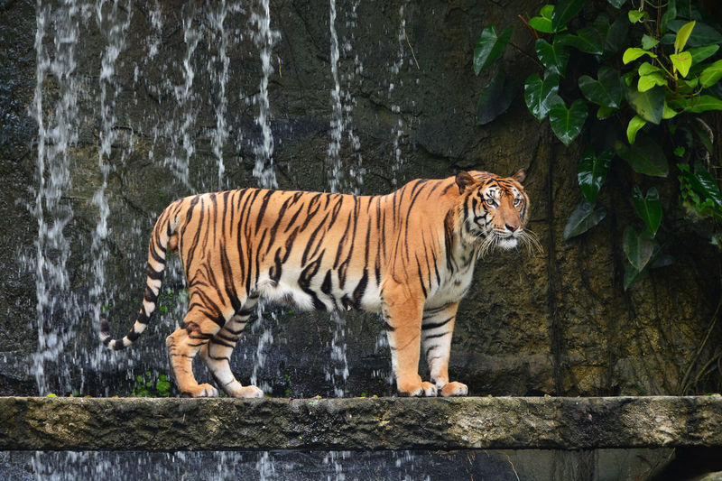 bengal tiger stand alone near waterfall Animal Animal Themes Animal Wildlife Animals In Captivity Animals In The Wild Bengal Tigers Big Cat Carnivora Day Feline Mammal Nature No People One Animal Outdoors Plant Stand Alone Striped Strong Tiger Undomesticated Cat Vertebrate Waterfall Whisker Zoo