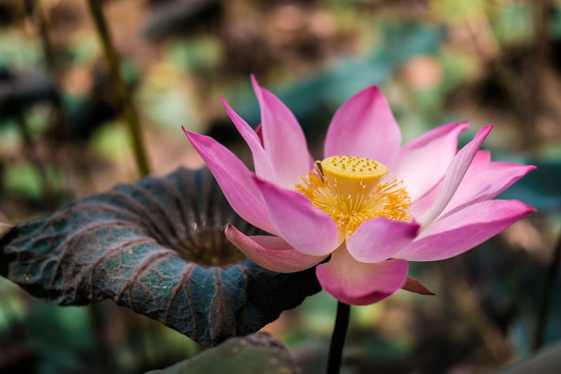 Pink lotus and the seed in the dry pond Lotus Flower Lotus Leaf Lotus Seed Pond Beauty In Nature Blooming Close Up Close-up Day Flower Flower Head Fragility Freshness Growth Lotus Lotus Pond Lotus Water Lily Macro Nature No People Outdoors Petal Petals Plant Pond Life