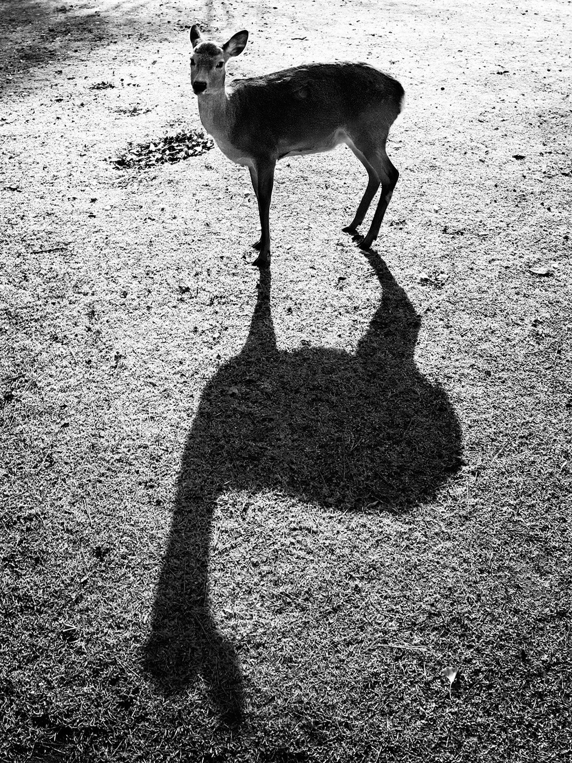 animal themes, one animal, domestic animals, mammal, street, high angle view, shadow, pets, wildlife, animals in the wild, road, sunlight, dog, asphalt, walking, full length, two animals, day, no people, outdoors
