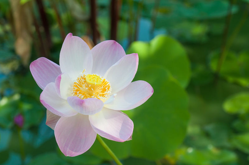 Close-up of pink lotus blooming outdoors