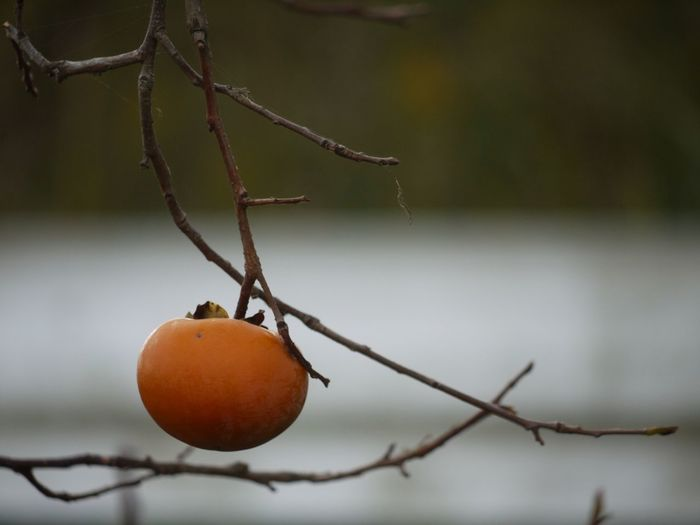 Close-up of persimmon on branch