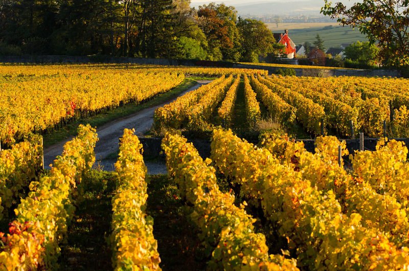 EyeEm Selects Golden Red Road Vines Agriculture Autumn Beauty In Nature Burgundy Day Flower Growth Landscape Leaves Nature No People Outdoors Plant Rural Scene Scenics Tranquil Scene Vineyard Way Wine Yellow Been There.