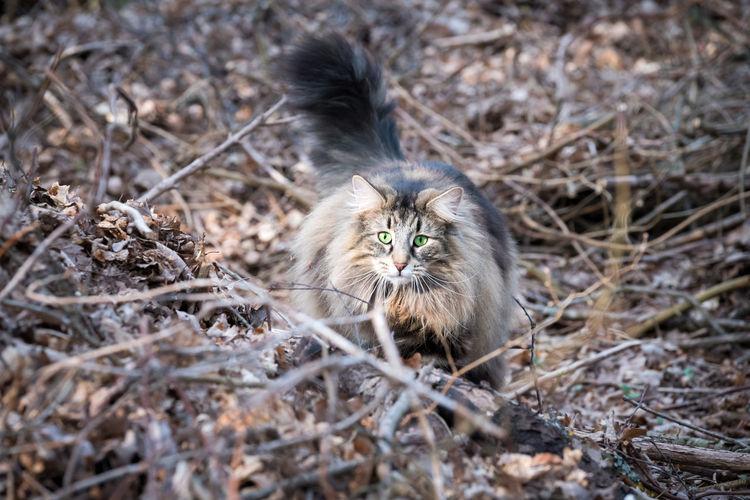 Free living norwegian forest cat in wilderness