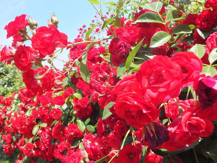 京成バラ園 京成バラ園 June 2016 Rosegarden Redroses Beautiful Beautifulgarden