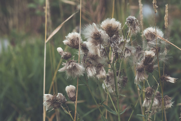 Seeds of Springtime Autumn Beauty In Nature Close-up Day Fall Fall Beauty Flower Flower Head Gone To Seed Grass Grassy Green Color Nature Ontario, Canada Outdoors Plant Seeds Selective Focus Showcase September Softness The Week On EyeEm Thistle Thistles Tranquility Wildflower