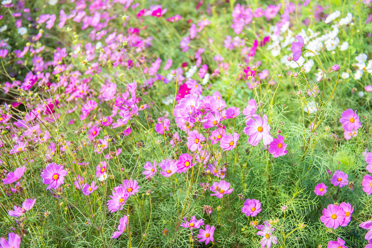 Cosmos Flower Flowers Field Pink Nature Garden Beautiful Background Green Colorful Blooming Color Meadow White Plant Spring Landscape Summer Botany Beauty Environment Fresh Flora Blossom Yellow Pretty Floral Autumn Bloom Outdoor Countryside Detail Bright Petal Sunset Purple Wild Calm Natural Sunny Rural Many Red Leaf Decorative Season  Grass
