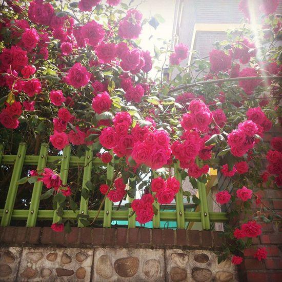 장미 장미~🌹🌹🌹 주말인데 흐리네요 ㅠㅠㅠ 오랜만에 집에내려가는데.. 일상 장미 꽃 Flowers rose 즐거운주말보내세요
