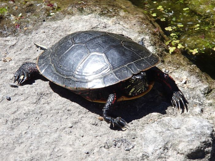 Painted tûtèle Painted Turtle High Angle View Nature Day Sunlight Outdoors Turtle
