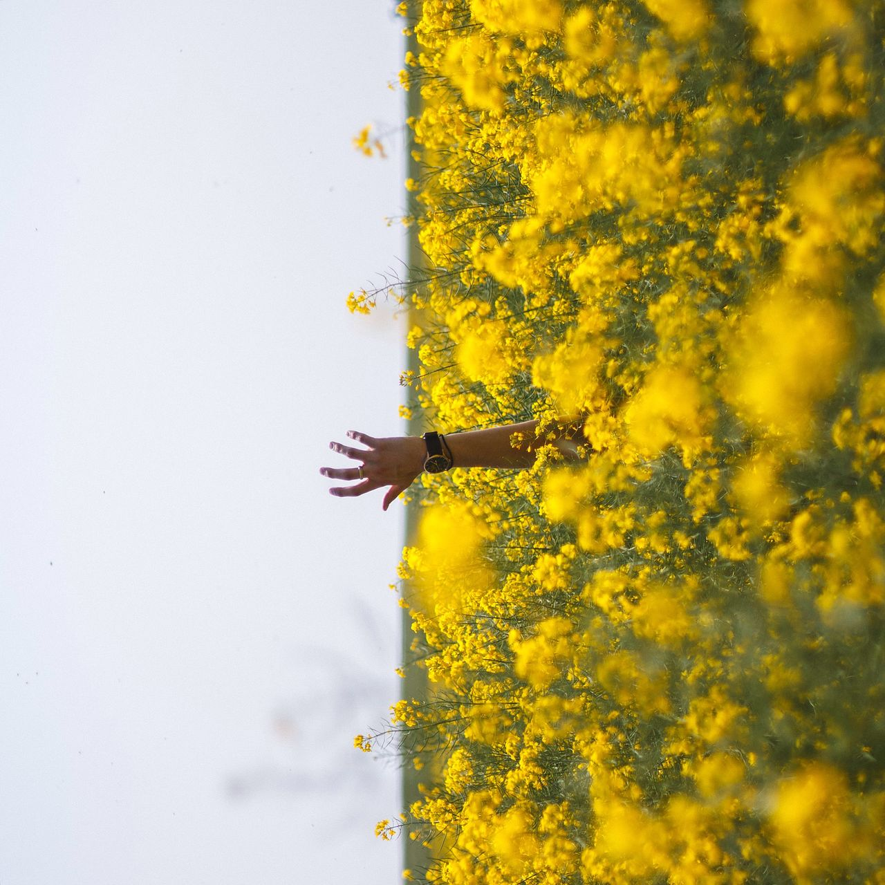 Cropped image of man hand amidst yellow flowering plants against clear sky