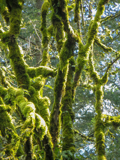 Oregon's mossy trees Green Hiking Nature Oregon Sunlight Textured  Travel Tree Trunk Trees WoodLand Evergreen Forest Moss Mossy Tree No People Non-urban Scene Off The Beaten Path Outdoors Vertical Woods