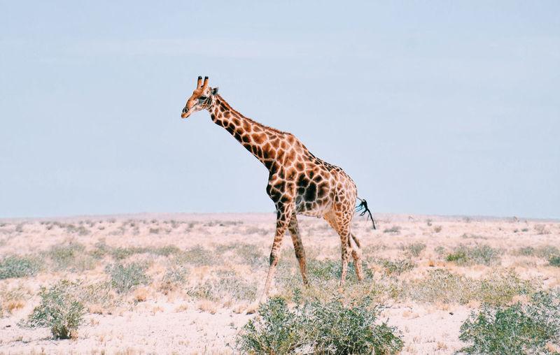 Full length of giraffe standing in on arid land against sky