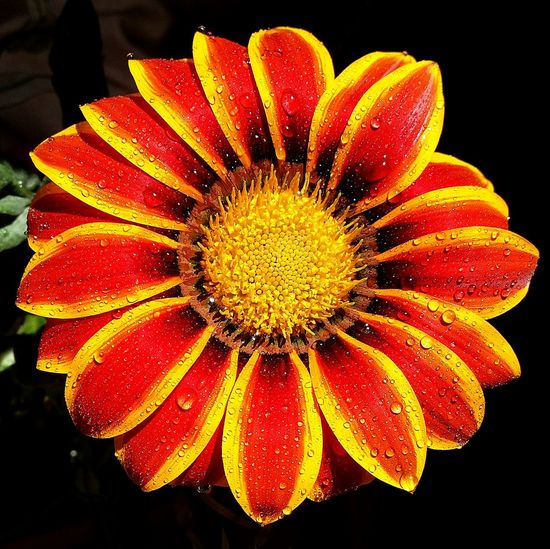 Beauty In Nature Blooming Close-up Flower Flower Head Fragility Freshness Growth Nature Outdoors Petal Plant Pollen Red Gerbera Two Color Flower