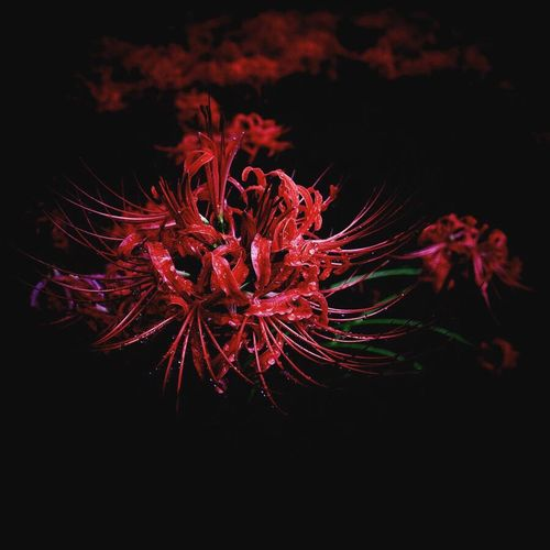 Instagram Edit Fujifilm XF16mmF1.4 Xpro1 Clusteramaryllis Red Nature No People Night Event Flower Dark Close-up