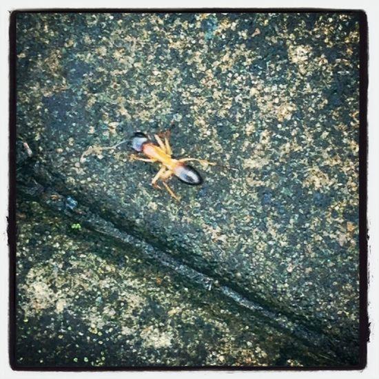 Giant Ant!!