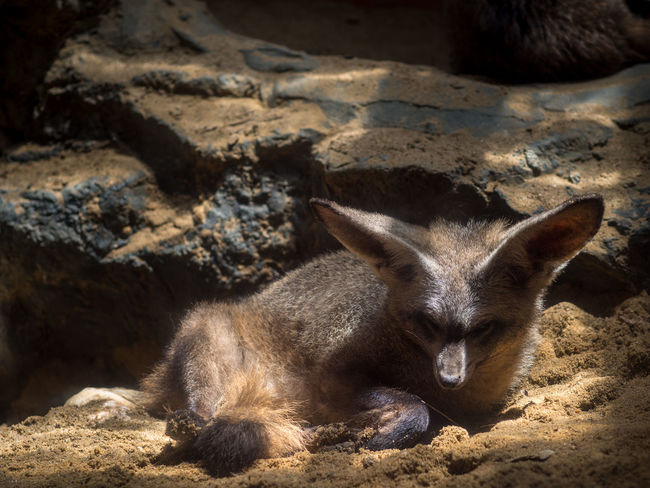 Bat-eared Fox, Otocyon megalotis Bat Desert Kalahari Nature Otocamera South Winter Africa Animal Animal Wildlife Animals In The Wild Bat-eared Fox Carnivore Day Eared Ears Mammal Mammals Nature No People Park Predator Safari Savanna Vertebrate