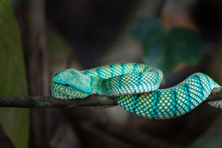 Borneo snake viper