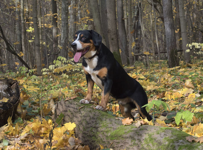 The Entlebucher Sennenhund in the Autumn Forest Animal Animal Themes Animals; Dogs; Pets; Playful; Fun; Happiness; Playing; Mammal; Wood; Animal; Nature; Tree; Pet; Cute; Domestic; Purebred; Yellow; Shepherd; Outdoors; Young; Sunlight; Nobody; Weather; Sunshine; Leaf; Puppy; Autumn; Park; Forest; Fall; Leaves; Trees. Canine Day Dog Domestic Domestic Animals Forest Land Leaf Leaves Looking Mammal Mouth Open Nature No People One Animal Outdoors Panting Pets Plant Plant Part Tree Vertebrate