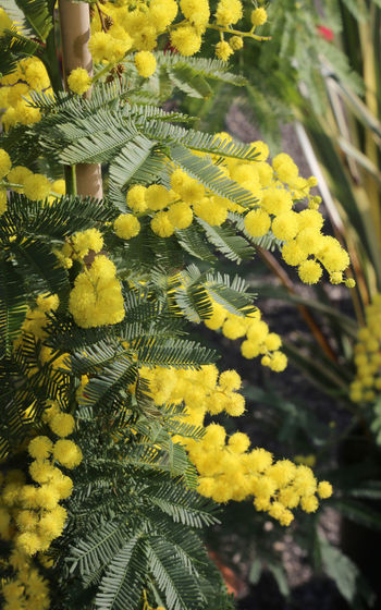 many big yellow mimosa flowers symbol of international women's day IWD International Women's Day Mimosa Flowers Beauty In Nature Close-up Festa Della Donna Festa Delle Donnne Flower Flower Head Fragility Growth International Womens Day Mimosa Mimosa Flower Mimosa Pudica Mimosa Pudica Flower Mimosa Tree Mimosa Trees Mimosapudica Mimosas Nature No People Outdoors Plant Yellow