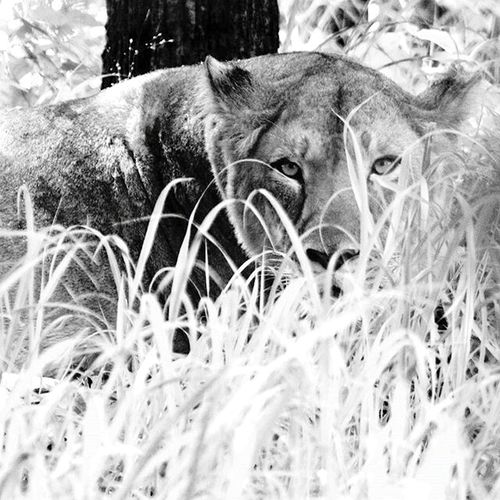 Lioness Lioness Staring At Camera India Silent Stare Stare Jungle Life Big Cats Lioness Queen Behind The Veils Watching From The Distance