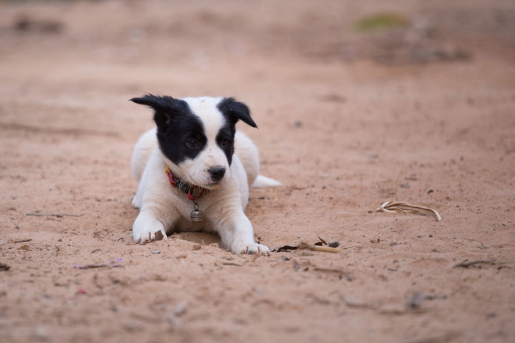 Dog Animal Puppy Soil Young Street Cute Domestic Mammal Pet Canine Doggy Background Portrait Brown White African Looking Wild Homeless Sand Rest Ground Stray Dogs Black HEAD Face Lying Thai Park Road Resting Sad Lonely Small Floor Outdoor One Clay