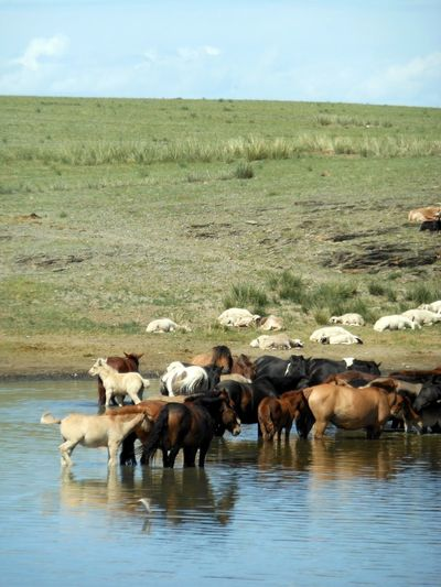 Animal Family Animal Themes Beauty In Nature Day Field Grass Grazing Herbivorous Lake Lakeshore Landscape Livestock Mammal Medium Group Of Animals Nature No People Outdoors Sky Tranquil Scene Tranquility Water Young Animal Zoology