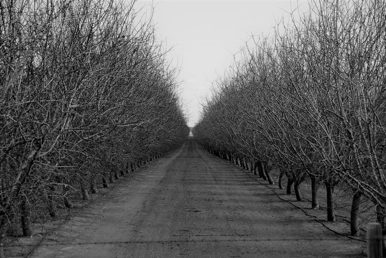 Sleeping Beauties Bare Trees Black And White Chilly Day Day Diminishing Perspective Fresh On Eyeem  Nature No People Orchard Outdoors The Way Forward Tree Trees In A Row Trees In Winter