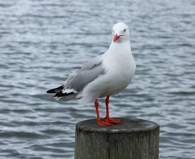 A Red Billed Sea Gull (Chroicocephalus scopulinus) sitting on a post Red Seagulls Wildlife & Nature Animal Themes Animal Wildlife Animals In The Wild Bird Close-up Day Gray Background Gull Nature New Zealand No People One Animal Outdoors Perching Red Billed Gull Sea Seagull Steel Color Steel Colour Water Wildlife Wooden Post
