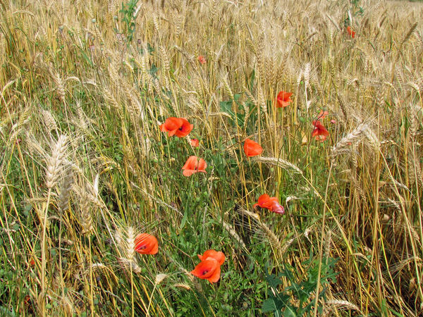 Agriculture Beauty In Nature Blooming Cereal Plant Close-up Day Field Flower Flower Head Fragility Freshness Grass Growth Meadow Nature No People Outdoors Plant Poppy Red Rural Scene Summer Wheat