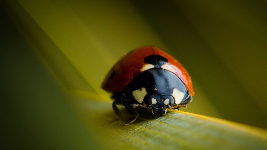 Coccinelle Insect Animals In The Wild Animal Themes One Animal Ladybug Wildlife Close-up Animal Wildlife Nature Outdoors Beauty In Nature No People