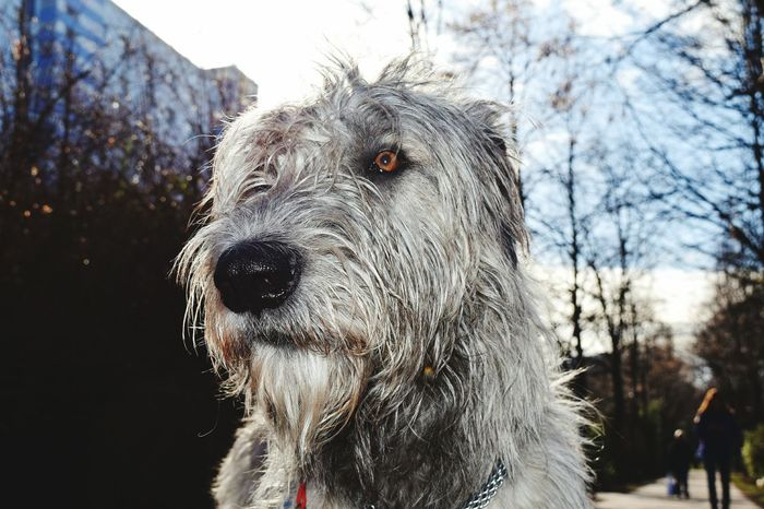 One Animal Animal Themes Animals In The Wild Animal Head  Sky Outdoors Portrait Sunbeam Sunlight Silhouette How Is The Weather Today? A Walk In The Park Ways Through The World Eyes Are Soul Reflection Dogslife Bokeh Dogs Of EyeEm Dog Of The Day Dogwalk Irish Wolfhound Cearnaigh Dogs Of Winter Animal Head  Winter 2017 March 2017 Looking At Camera