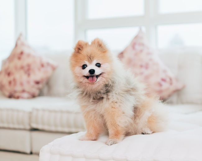 Pomeranian dog portrait One Animal Mammal Pets Domestic Domestic Animals Pomeranian Dog Canine Purebred Breed Portrait Pom Animal Themes Furniture Indoors  Focus On Foreground Looking At Camera No People Sitting Small