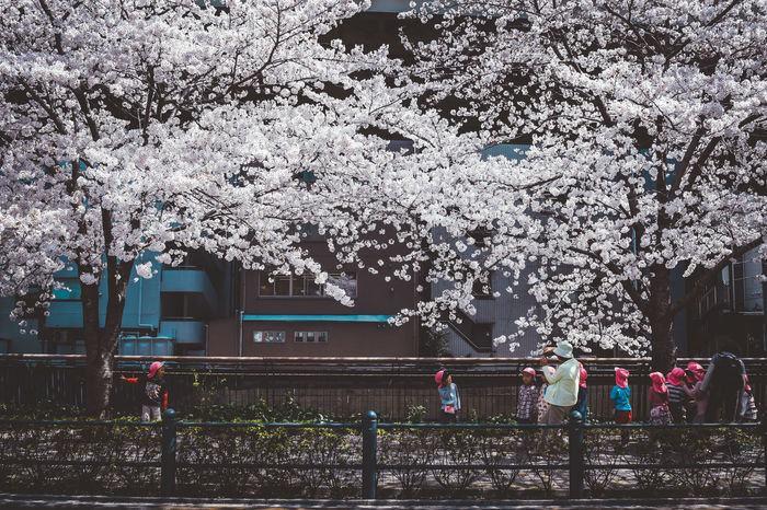 Architecture Beauty In Nature Blossom Branch Building Exterior Built Structure Cherry Blossom Cherry Tree Day Flower Flowering Plant Fragility Freshness Growth Mode Of Transportation Nature Outdoors Plant Springtime Transportation Tree