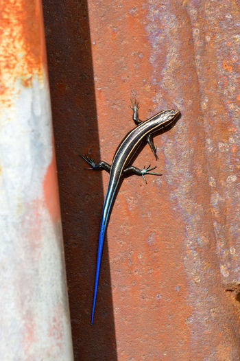 Colorful skink on rusty bridge Lizard Watching Nature Photography Rust Animals On Bridges Nature Lovers Nature_collection No People Outdoors Reptile Photography Skink Tails