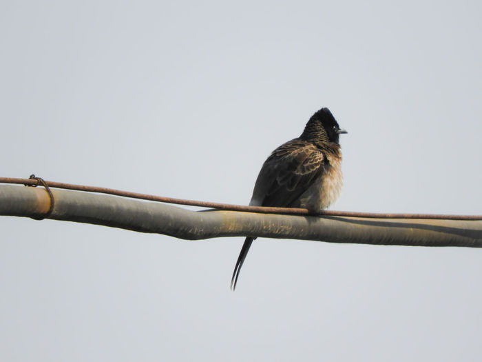 Passerine Sky Bulbul Red Vented Bulbul Perched Perching Wire Electric Wire Electricity  Power Danger Bird India Bird Perching Branch Animal Themes Close-up Sky RISK Cable Beak Songbird  Power Supply Power Line