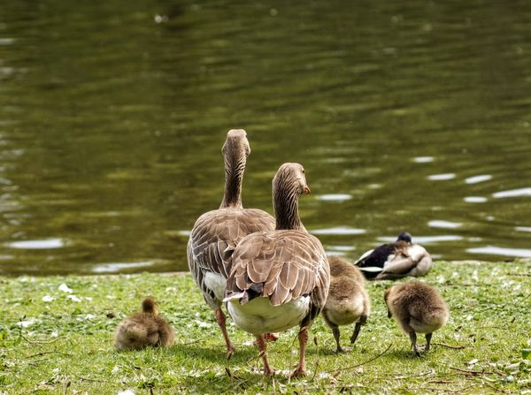 Animal Animal Family Animal Themes Animal Wildlife Animals In The Wild Bird Cygnet Day Duck Goose Gosling Group Of Animals Lake Nature No People Outdoors Poultry Vertebrate Water Water Bird Young Animal Young Bird