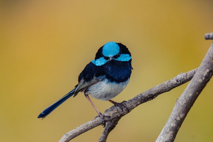 Superb Fairy-wren Bird Animal Wildlife Perching Animal Animals In The Wild Animal Themes Vertebrate One Animal Branch Focus On Foreground No People Tree Twig Day Plant Nature Outdoors Blue Close-up Full Length SONY A7ii
