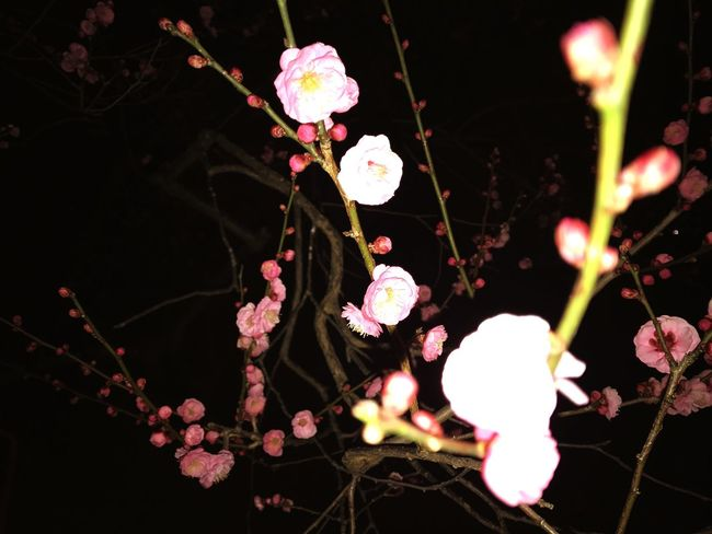 Flower Nature Fragility Growth Beauty In Nature Freshness Pink Color No People Petal Close-up Branch Plant Outdoors Flower Head Plum Blossom Day