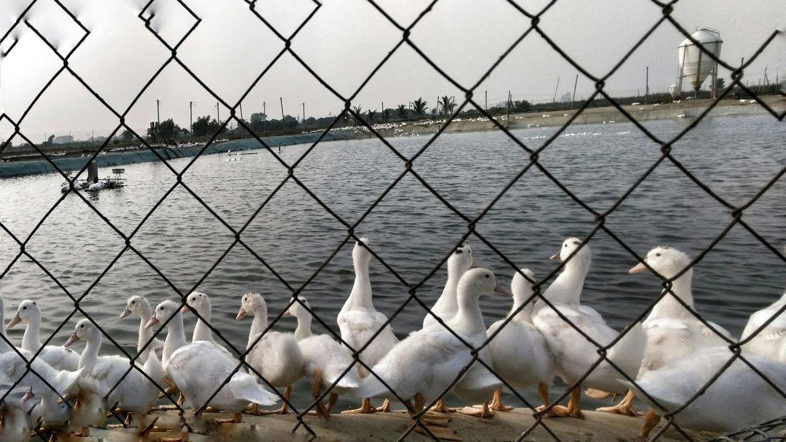 Taking Photos Happiness Ducks Relaxing Relaxing Enjoying Life Photography Enjoying The View Enjoying Nature Nature Photography