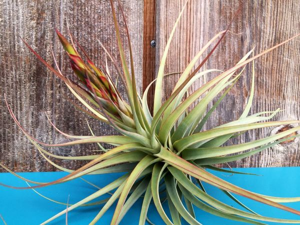 Tillandsia Air Plant Turquoise By Motorola