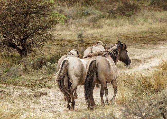 Konik Horses Konikhorses Dunes Of Holland Animal Themes Animal Mammal Animal Wildlife Animals In The Wild Group Of Animals Nature