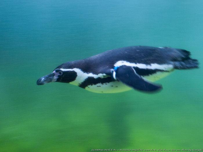 飛ぶが如く Penguin Aquarium Bird
