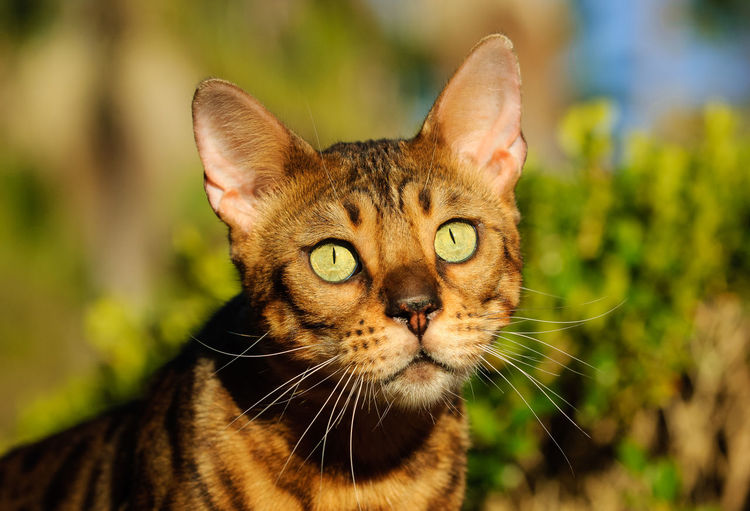 Portrait of Bengal cat One Animal Feline Cat Animal Pets Animal Themes Domestic Animals Domestic Domestic Cat Focus On Foreground Close-up Day Whisker Looking Animal Eye Yellow Eyes No People Tabby Animal Head  Bengal Bengal Cat