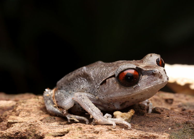 Extreme close-up of frog on rock against black background
