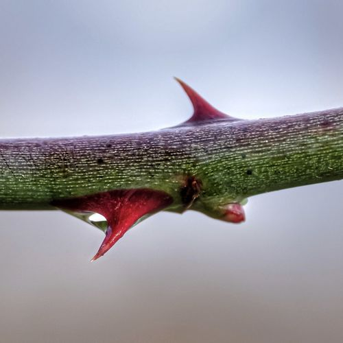 Close-up of water drop on red leaf