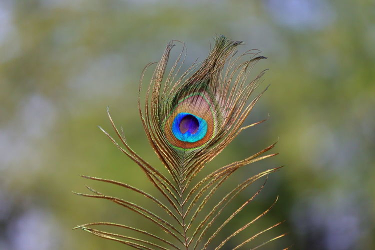 Closeup of male peacock feather on green grass blur gradient background