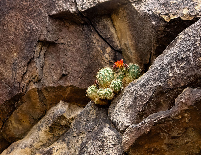 Backgrounds Barrel Cactus Bloom Beauty In Nature Cliff Fac Close-up Day Nature No People Outdoors Plant Precarious Precarious Bloom Sunlight Textured