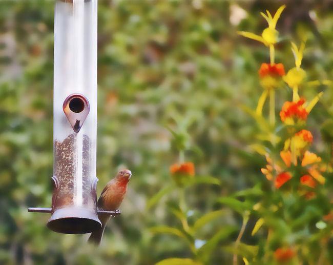 Backyard Garden Backyardphotography Bird Feeder Bird Photography Garden Photography House Finch Leonotis Leonurus Orange Flowers