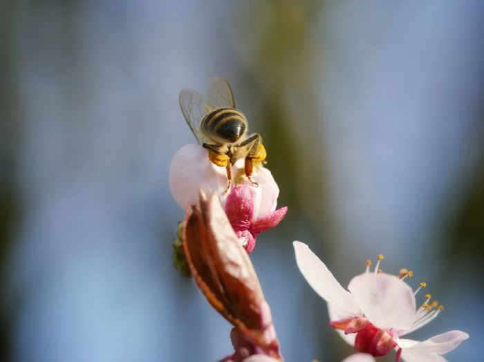 Close-up of bee pollinating on blossoms