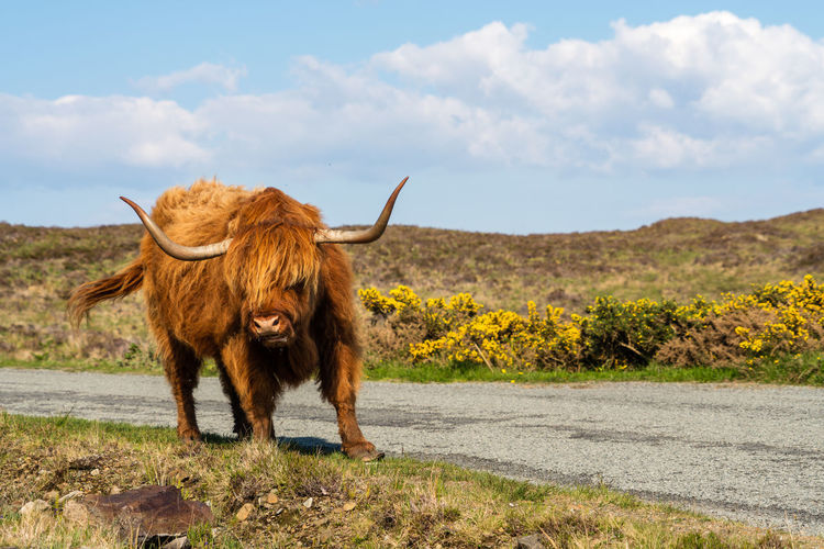 Bull Scotland Scottish Cow Animal Animal Themes Cattle Cow Day Domestic Domestic Animals Domestic Cattle Environment Field Herbivorous Highland Cattle Horned Land Landscape Livestock Mammal Nature No People One Animal Outdoors Pets Sky Standing Vertebrate The Great Outdoors - 2018 EyeEm Awards The Traveler - 2018 EyeEm Awards The Portraitist - 2018 EyeEm Awards